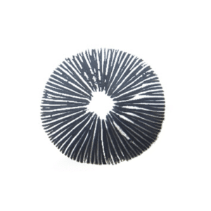 Cubensis Spore Print for sale
